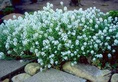 Sweet Alyssum Ground Cover - Sun. Edges. Rock walls.