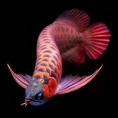 ,_sSA Arrowana swims SPACE 1.25 MILL::ION nautical Miles a Day EUROPA Beautiful Tropical Fish, Beautiful Fish, Betta Fish Types, Aquariums, Dragon Fish, Pretty Fish, Carpe Koi, 3d Cnc, Freshwater Aquarium Fish