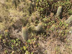 Vegetación cactáceas   Echinopsis chiloensis (Colla) Friedrich & G.D. Rowley ssp. littoralis (Johow) Lo. Acantilados de Quirilluca Costa región de Valparaíso Chile