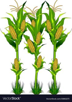 Ripe fresh yellow corn on the cob vegetable with long green leaves in cartoon style isolated on white background with caption Corn Illustration , Corn Drawing, Vegetable Drawing, Fruit Nail Art, Aztec Tattoo Designs, Horse Rearing, Powerpoint Background Design, Corn Plant, Picture Mix, Indian Art Paintings