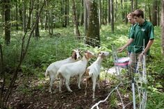 """Lucas Wessner, 19, left, and Sam Summer, 19, monitor four goats being used a Hawk Mountain Sanctuary to controll invasive plants. """"This was like Willy Wonka's Chocolate factory for them,"""" Summer said. 