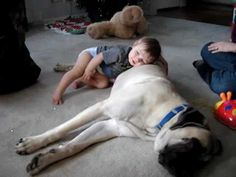 this is why mastiffs are the best!!