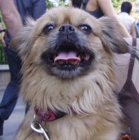 Ms Pepper: female Shih Tzu / Pekingese mix in NYC looking for a home