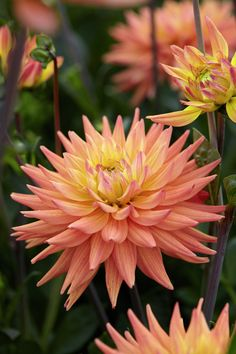 Dahlia 'Karma Corona' • Plants & Flowers • 99Roots.com