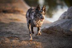 @studiohodne posted to Instagram: Savner sommer og varme når jeg ser dette bildet av Rime. Heldigvis har vi fine forhold for utendørs hundefotografering nå på vinteren også.   #hundefotograf #actionfoto #hundilek #hundelek #tunevannet #landeparken #sommer #strand #løpe #mudi #solnedgang Animals, Pictures, Animales, Animaux, Animal, Animais