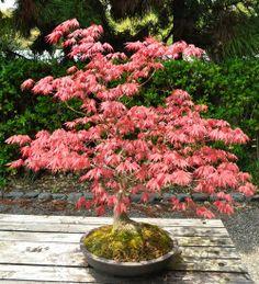 Pink Japanese Maple Bonsai