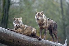 Two wolves posing on the log by Tambako The Jaguar Via Flickr: Two brown wolves posing on a log!