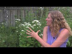 Feverfew in the garden - Clinical Herbalist Elaine Sheff talks about feverfew in her series My Herbal Garden.