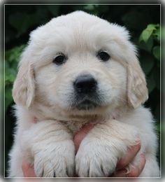 Golden retriever Tejo