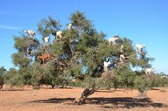 Capre Volanti. Goats flying -    Marocco. Capre che mangiano sugli alberi di argan. Marocco. Goats who eat on argan trees....