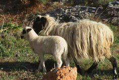 Sfakia sheep, mottled head