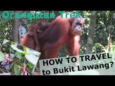 How to travel to Bukit Lawing (Indonesia) and how to do a Orang-utan Trek?…