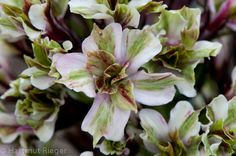 phlox paniculata pure feelings