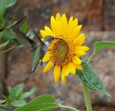Blooming sunflower and humming angel.. Hummingbird on sunflower by Carol Collins (Nona)