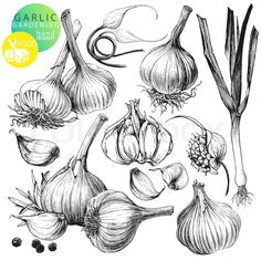 Collection of hand drawn illustrations with garlic's isolated on white background | Vector | Colourbox on Colourbox