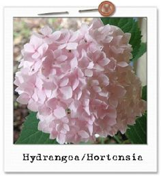 Hydrangea Bloom~My favorite flower, and this one's in Pink!