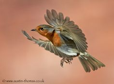 Robin, flight, Rødkælk, Rødhals, cute, bird, beauty,  feathers, spread your wings and fly, beauty of Nature, photo