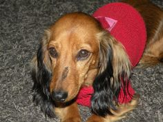 back to my own doggies... Lolas nice and cozy in her red sweater.