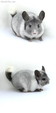 12180 Ebony & White Mosaic ( possible Locken Carrier ) Male Chinchilla