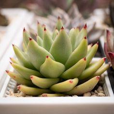 Echeveria agavoides 东云 2019-10-13 #多肉植物 #多肉 #succulents #echeveria #拟石莲属 #echeveriaagavoides Artichoke, Vegetables, Food, Artichokes, Veggies, Veggie Food, Meals, Vegetable Recipes, Yemek