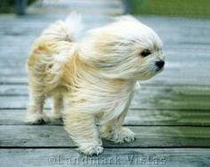 Lhasa Apso - SO freakin' cute! Lola thinks she deserves her own prop fan. Cute Puppies, Cute Dogs, Dogs And Puppies, Doggies, Boxer Puppies, Maltese Dogs, Lhasa Apso Puppies, Baby Animals, Cute Animals