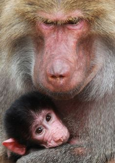 baby baboon and momma. look at that nose :)