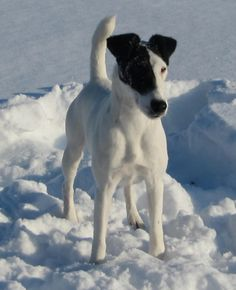 Smooth Fox Terrier adult Ch Pardon My Thunder 'Zeus' from Manitoba Canada yeah!