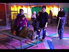Cette vidéo d'un tigre ligoté pour des photos souvenir fait scandale