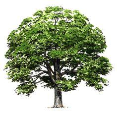 Illinois: State Tree White Oak