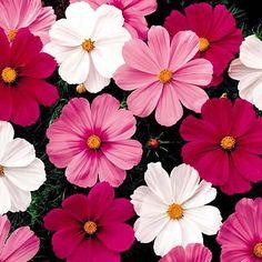 Schmuckkörbchen Sensations-Mischung - Sonstige Sommerblumen