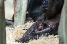 Zoo Basel's Gorilla Troop Welcomes New Baby
