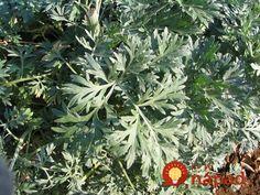 V záhrade sa oplatí mať túto rastlinu poruke. Pripravte ju takto a sami uvidíte, akú má silu!