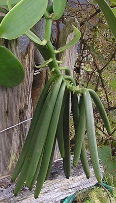 Hawaiian Vanilla Co, Hamakua Coast, Big Island Fruit Garden, Edible Garden, Vegetable Garden, Garden Plants, Orchid Plants, Exotic Plants, Orchids, Planting Succulents, Planting Flowers