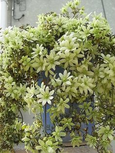 ~Clematis Pixie - Today's Gardens