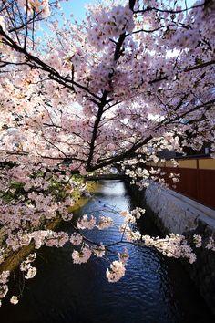 京都祇園白川の素晴らしい満開の桜 Kyoto Gion Shirakawa cherry blossoms spring