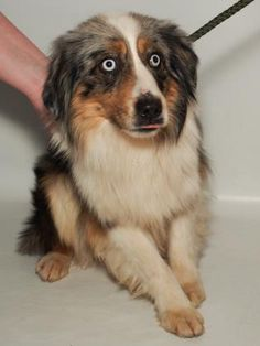 Adopt Chico, a lovely 1 year  6 months Dog available for adoption at Petango.com.  Chico is a Australian Shepherd, Miniature and is available at the National Mill Dog Rescue in Colorado Springs, Co.  www.milldogrescue.org #adoptdontshop  #puppymilldog   #rescue  #adoptyourfriendtoday