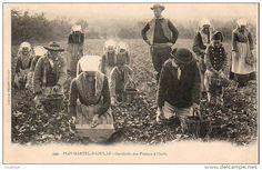 Plougastel - Ceuillette des fraises