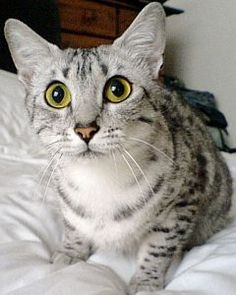 Egyptian Mau - I seriously want one someday!