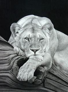 .Pencil drawing lioness lying on log