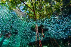 A School of Blue Silversides Swim Through Mangroves in the Coral Reefs off Cuba