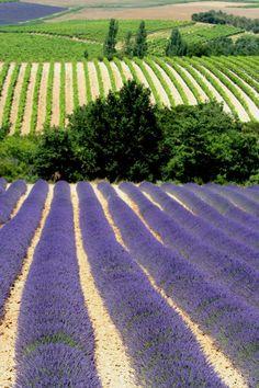 Lavendel in Valréas