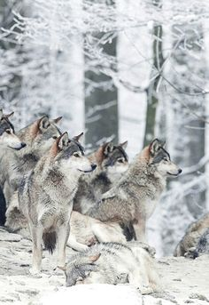 JUST BREATHTAKING... <3<3<3<3<3<3<3       #StopKilling Wolves !!!!!!!