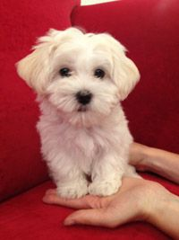 havanese- recently got one, sweetest puppy ever :)