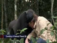 Man Reunites With Gorilla He Raised for 5 years, after 5 years of being apart. Aww ^_^