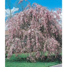 12.68-Gallon Pink Weeping Cherry Feature Tree (L1010)