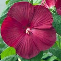 red valentine plant