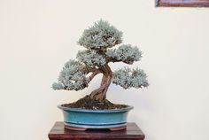 Fotos de la XIX exposición de bonsái de Puerto de la Cruz. (árboles y II).