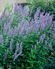 ~Herbal Notes~ | Reformation Acres. -- Agastache 'Blue Fortune' is a perennial with a long lasting bloom - the soft blue flowers are beautiful and attract bees all summer long starting in July and lasting well into September in our CT planting zones. This is a great thriller in container gardens and why a must have, Cathy T