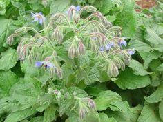 Seed company that offers heirloom, organic & non gmo! // herb, Borage seeds | Baker Creek Heirloom Seed Co