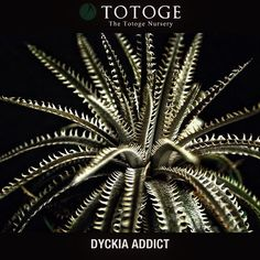Jawsもだけど今年は、脇芽を出さそう #Dyckiaaddict #dyckia #totoge